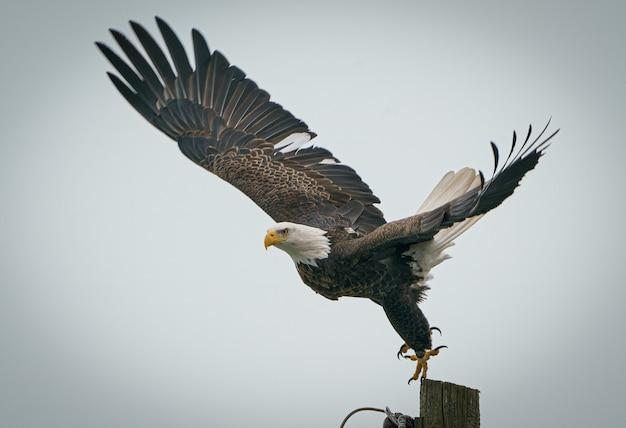 Крупный план величественного белоголового орлана, который собирается вылететь с деревянного столба в прохладный день Бесплатные Фотографии