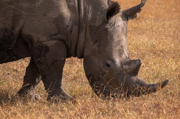 ケニアのオルペジェタで捕獲された野原で放牧している泥だらけのサイのクローズアップショット 無料写真