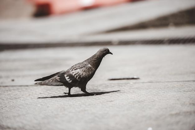 Макрофотография выстрел голубя, ходьба по земле Бесплатные Фотографии