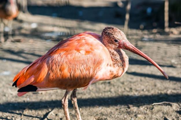長いくちばしを持つピンクのトキ鳥のクローズアップショット 無料写真