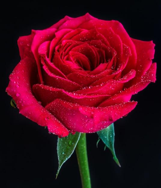 黒の上に露が付いた赤いバラのクローズアップショット 無料写真