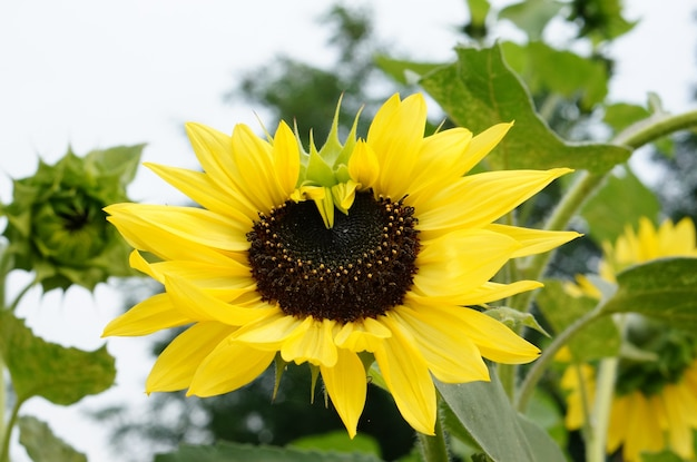 노란 꽃잎과 해바라기의 근접 촬영 샷 무료 사진