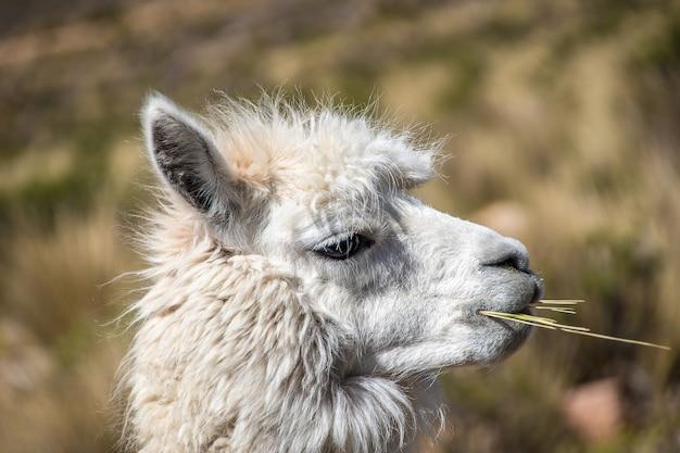 Крупным планом снимок жевания белой ламы Бесплатные Фотографии