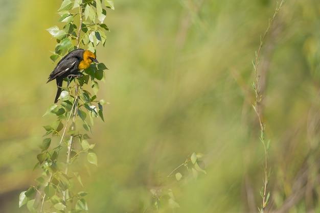 枝に向かった黄色のクロウタドリのクローズアップショット 無料写真