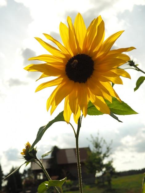バックグラウンドでぼやけた曇り空と黄色いヒマワリのクローズアップショット 無料写真