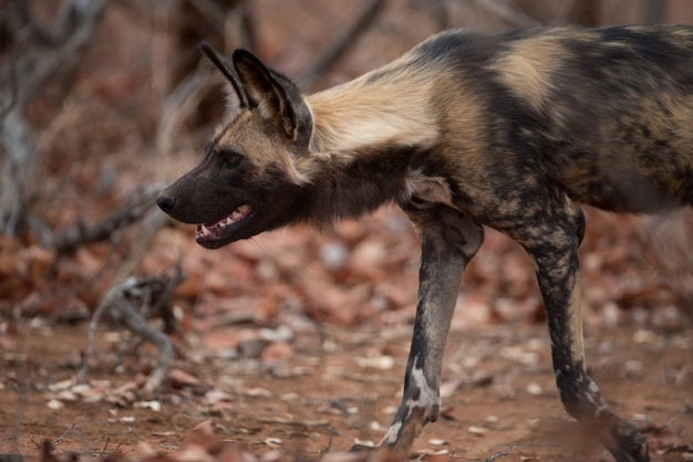 Снимок крупным планом африканской дикой собаки, готовой охотиться на добычу Бесплатные Фотографии