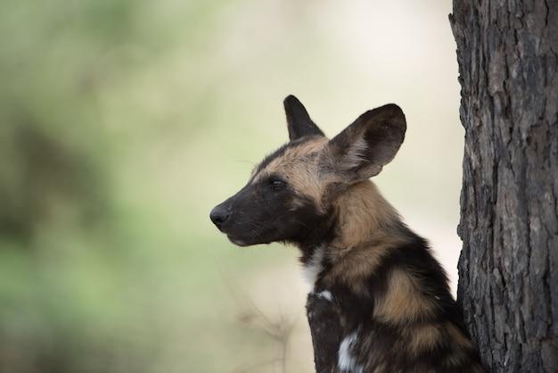 Снимок крупным планом африканской дикой собаки Бесплатные Фотографии