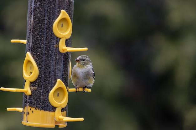 鳥の餌箱のコンテナで休んでいるオウゴンヒワの鳥のクローズアップショット 無料写真