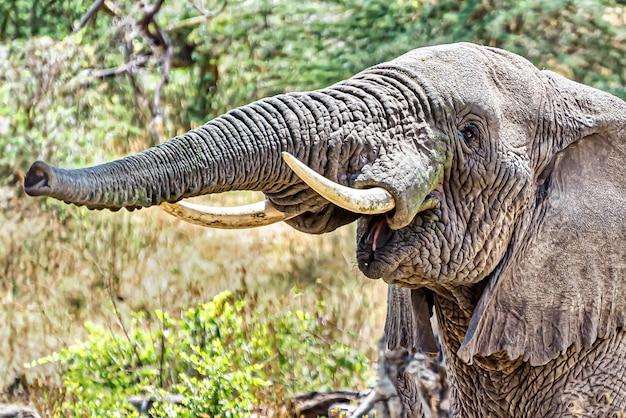 トランクに空気を押し込んでトランペットの音を出す象のクローズアップショット 無料写真