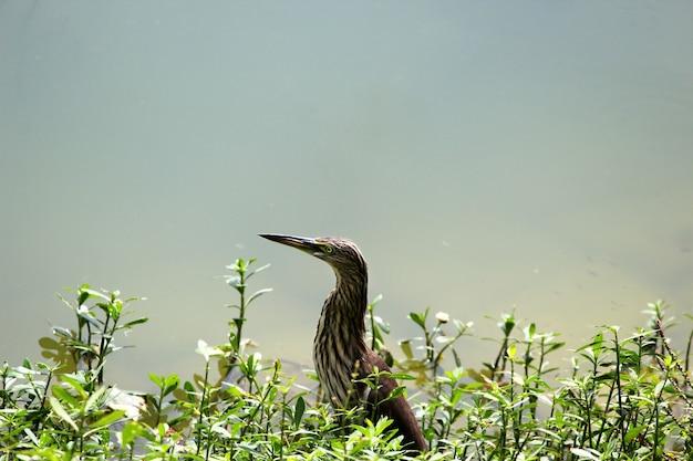 インドの池のサギのクローズアップショット 無料写真