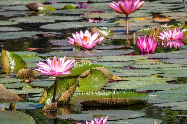 Снимок крупным планом красивых розовых водяных лилий, растущих на болоте Бесплатные Фотографии