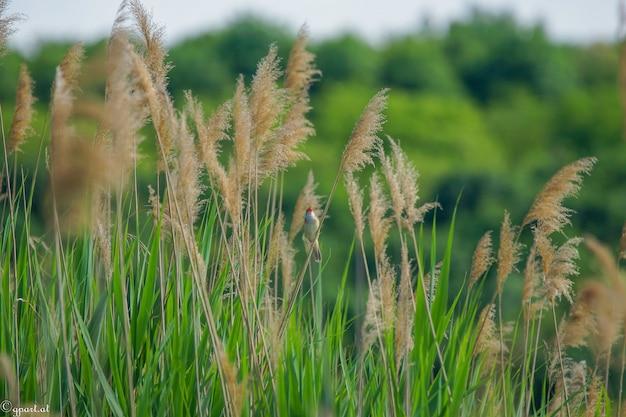 一般的な葦とそれらの1つに座っている小さな鳥の枝のクローズアップショット 無料写真