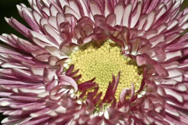 데이지 연구 꽃의 근접 촬영 샷 무료 사진