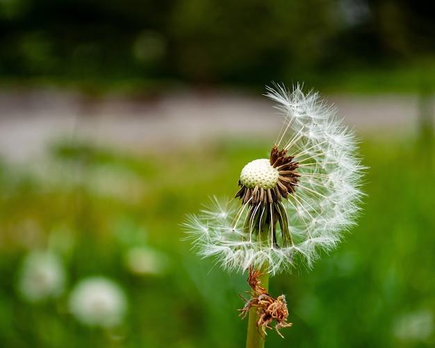 タンポポの花のクローズアップショット 無料写真