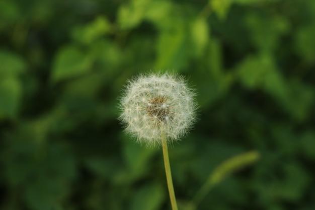 Макрофотография выстрел из семян одуванчика Бесплатные Фотографии