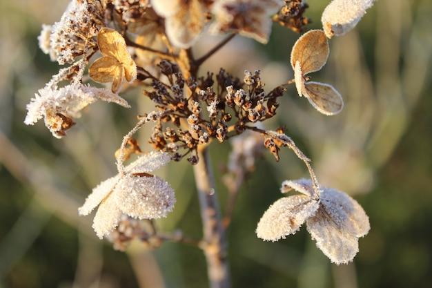 霜の薄い層と乾燥したアジサイのクローズアップショット 無料写真