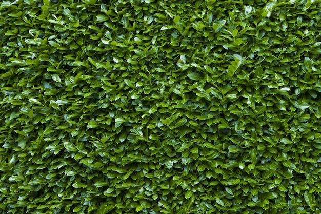 녹색 울타리 질감 배경의 근접 촬영 샷 무료 사진