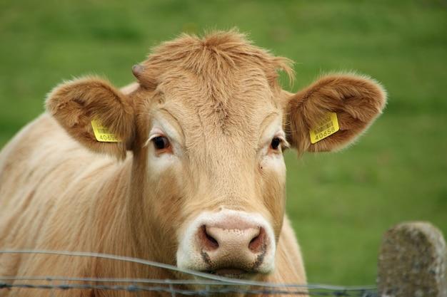 耳に識別タグが付いた茶色の牛の頭のクローズアップショット 無料写真