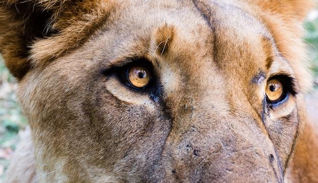 雌ライオンの頭のクローズアップショット 無料写真