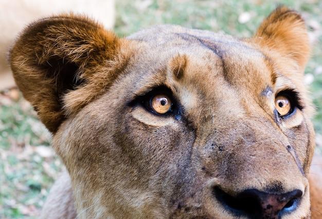 암 사자 머리의 근접 촬영 샷 무료 사진