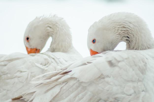 首がねじれた2つのかわいい白いガチョウのクローズアップショット 無料写真