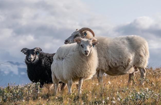 曇り空の下の野生地域で3つの美しいアイスランドの羊のクローズアップショット 無料写真