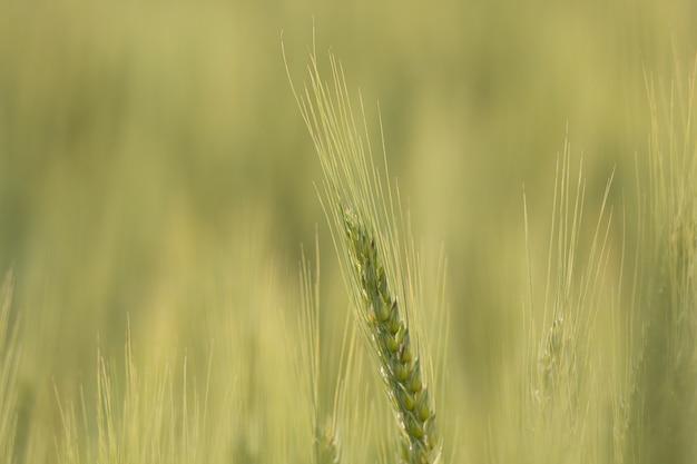 Крупным планом снимок тритикале растений с размытым фоном n Бесплатные Фотографии