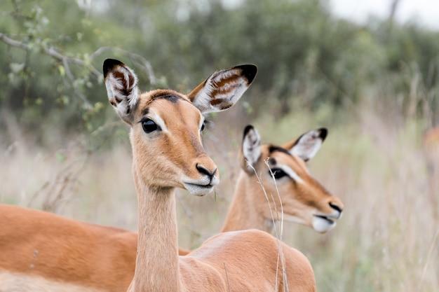 Макрофотография выстрел из двух красивых оленей в национальном парке крюгера Бесплатные Фотографии