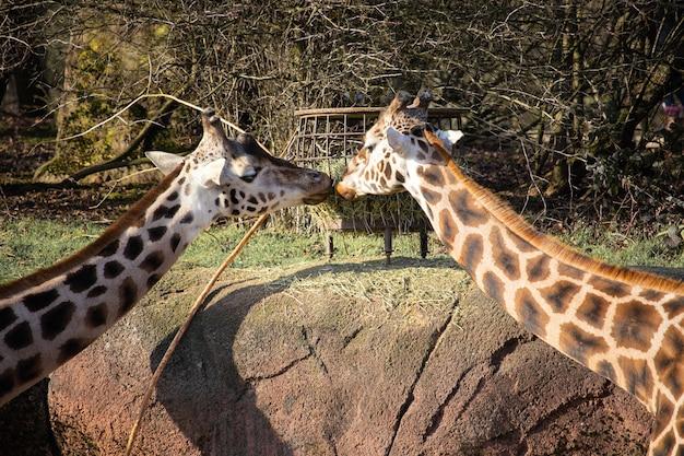 お互いにキスをしているように餌の谷から干し草を食べる2匹のキリンのクローズアップショット 無料写真