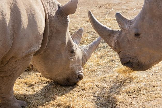 Снимок крупным планом двух носорогов, поедающих сено, с красивыми рогами и текстурированной кожей Бесплатные Фотографии