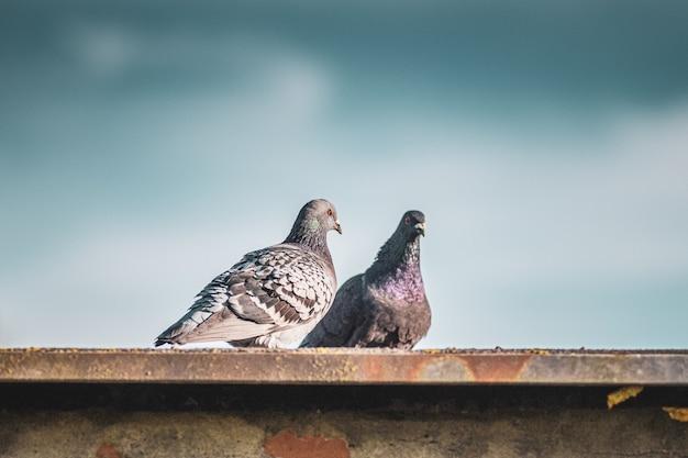 지붕에 서있는 두 개의 주식 비둘기의 근접 촬영 샷 무료 사진