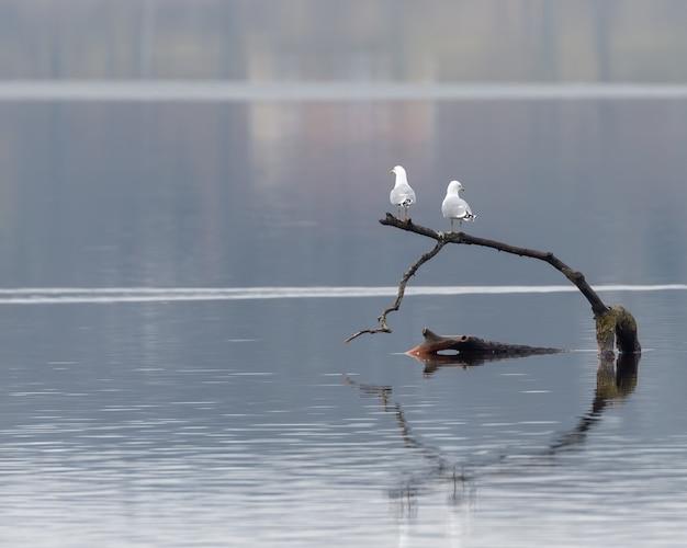 水の中の木の上に立っている2つの白いカモメのクローズアップショット 無料写真