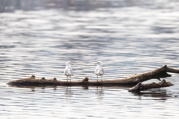 水中の木片の上に立っている2つの白いカモメのクローズアップショット 無料写真