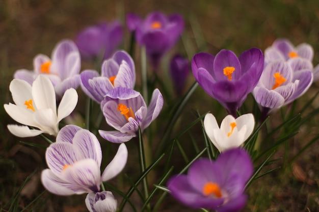 흰색과 보라색 봄 크 로커 스의 근접 촬영 샷 무료 사진