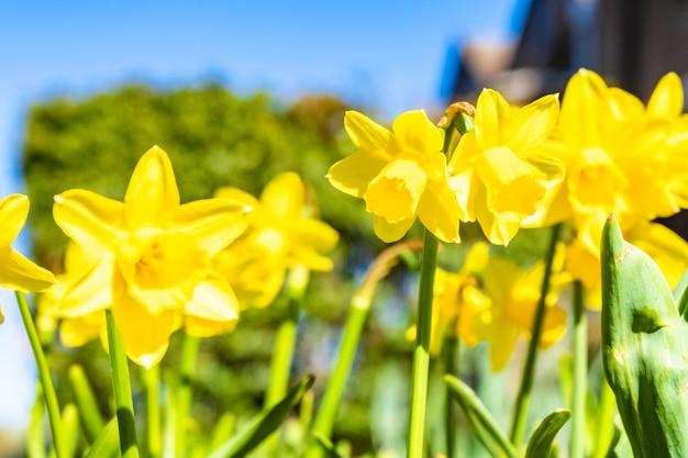 日光の下で黄色の水仙のクローズアップショット 無料写真