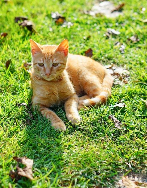 Colpo del primo piano di un gattino arancione sull'erba sdraiato su un lato in una giornata di sole Foto Gratuite