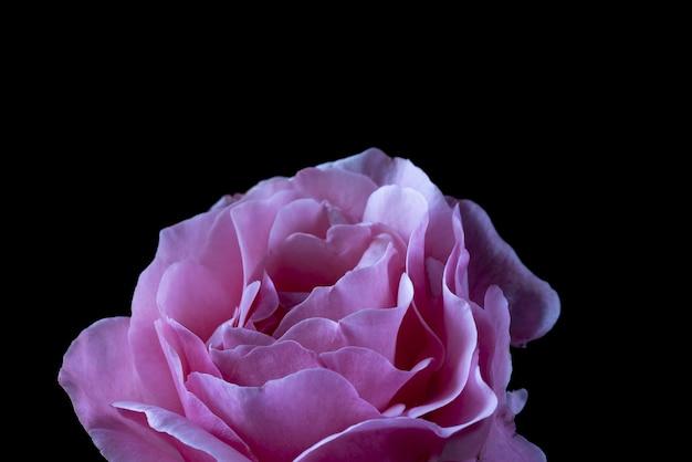 Colpo del primo piano di una rosa rosa sul nero Foto Gratuite