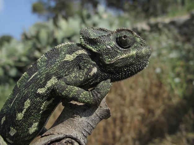 Colpo del primo piano di un profilo di un camaleonte mediterraneo seduto su un ramo a malta Foto Gratuite