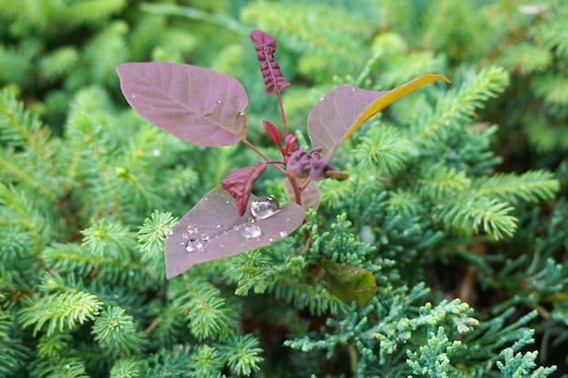 Colpo del primo piano di una pianta viola che cresce tra le piante verdi ricoperte di gocce di rugiada Foto Gratuite