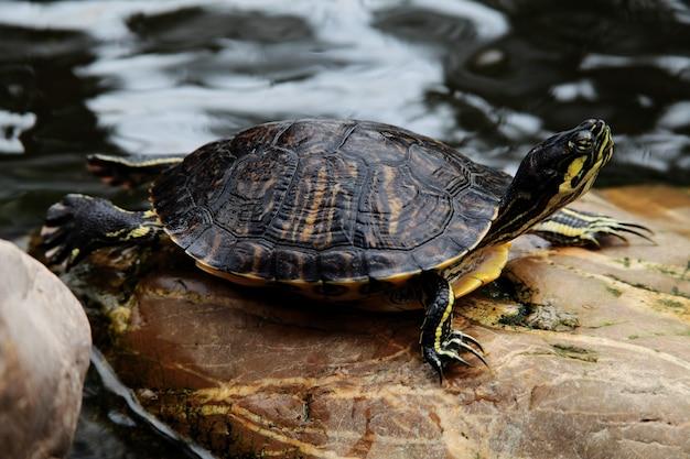 Colpo del primo piano di una tartaruga con le orecchie rosse trachemys scripta elegans che riposa su una roccia vicino all'acqua Foto Gratuite