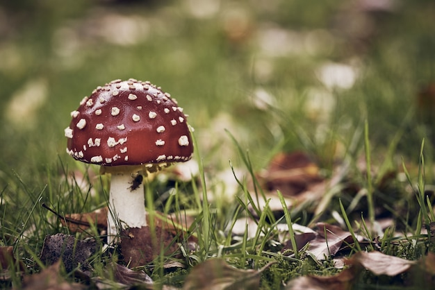 Closeup shot of a red mushroom with white dots in a grassy field Free Photo
