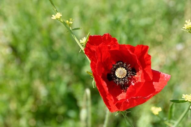 Colpo del primo piano di un fiore di papavero rosso Foto Gratuite