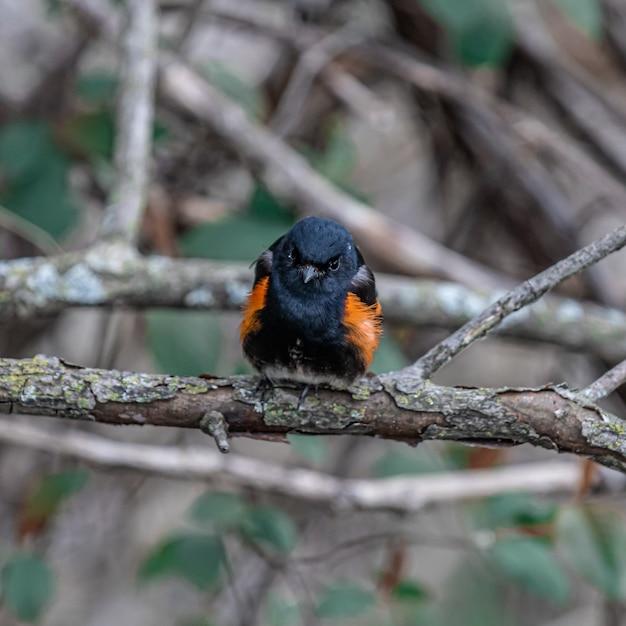 Colpo del primo piano di un merlo dalle ali rosse su un ramo Foto Gratuite