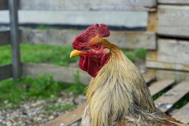 Colpo del primo piano di un gallo Foto Gratuite