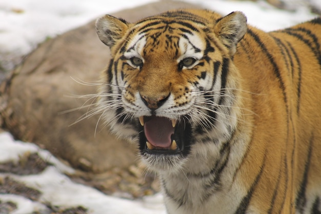 Closeup shot of a siberian tiger in the zoo Free Photo