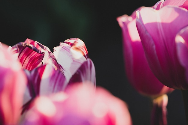 Closeup shot of a single white and purple tulips in a purple tulip field - individuality concept Free Photo