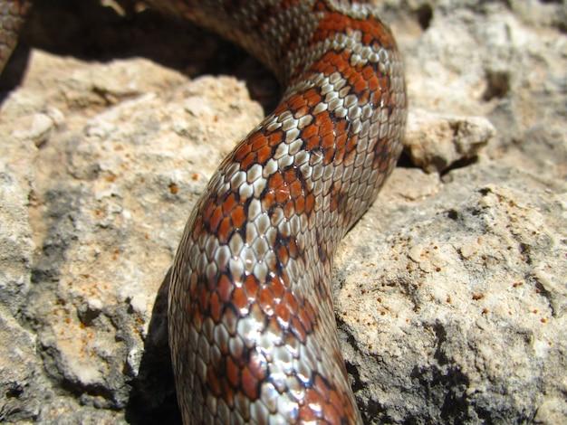 Colpo del primo piano della pelle di un serpente di ratto europeo Foto Gratuite
