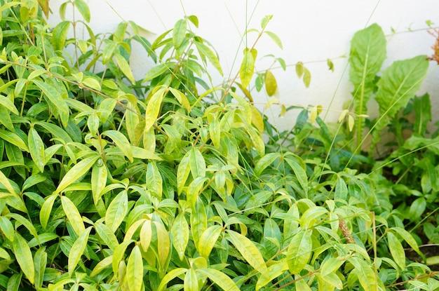 Colpo del primo piano di un piccolo arbusto con foglie verdi davanti a un muro bianco Foto Gratuite