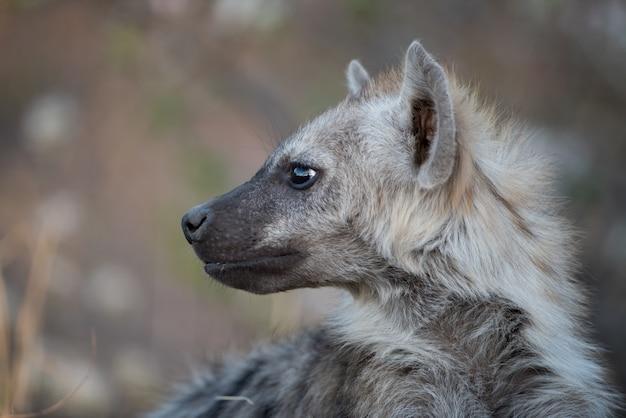 Colpo del primo piano di una iena maculata con uno sfondo sfocato Foto Gratuite