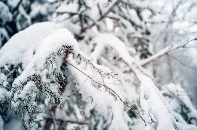 Closeup shot of spruce tree covered with snow Free Photo